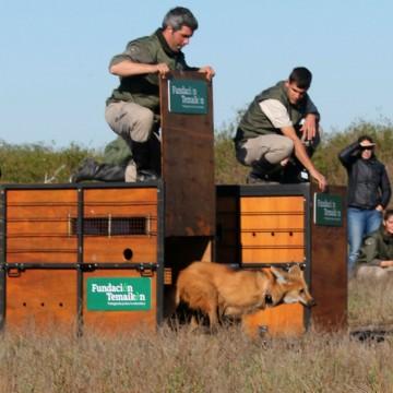 Aguará guazú temaikén animales liberados cautiverio