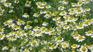 manzanilla, hierba medicinal