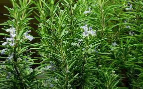 romero, hierba medicinal
