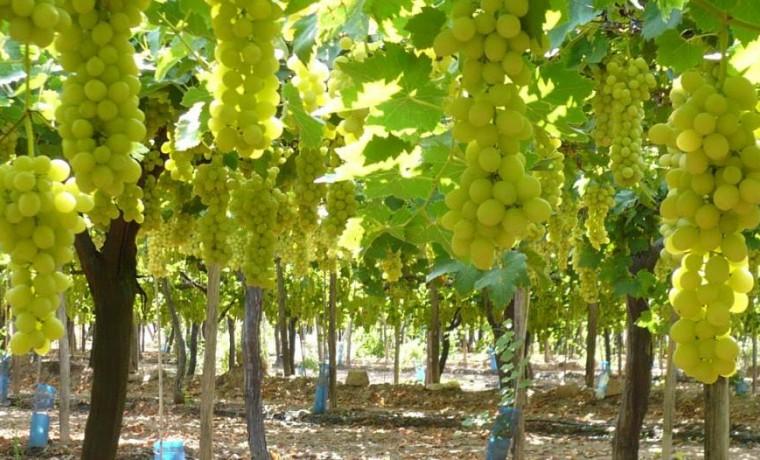 Uvas sanjuaninas blancas vino blanco cabernet cauvignon cosecha de uva máquina de cosecha de uva