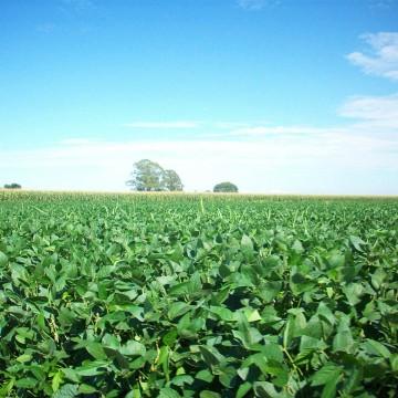 Soja campo sembrado verde cultivo agroeconomía tóxico