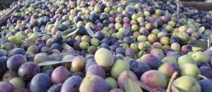 aceitunas, aceite de oliva, cosecha