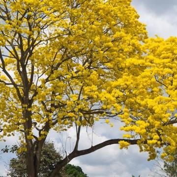 guayacain, ecología, medio ambiente
