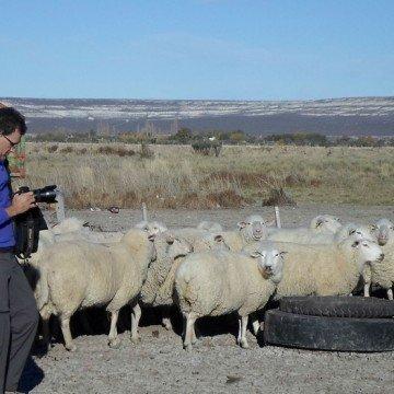 ovejas, campo, patagonia, chubut, queso de oveja,
