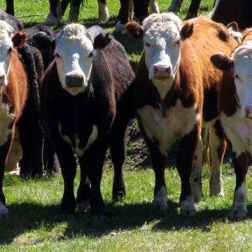 vacas angus, consumo de carne, bovina, vacuna, carnicería