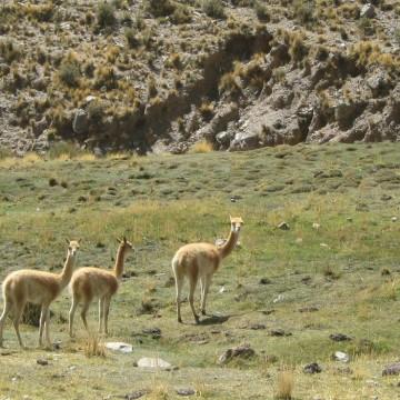 vicuñas, Jujuy, fauna, lana
