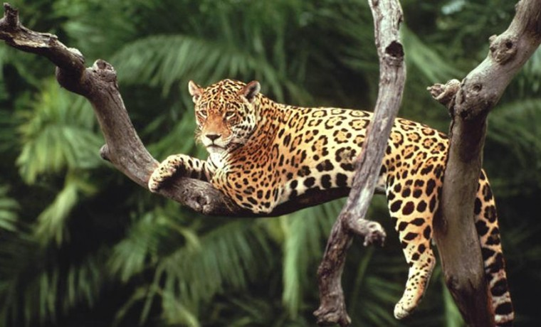 yaguareté jaguar animal felino