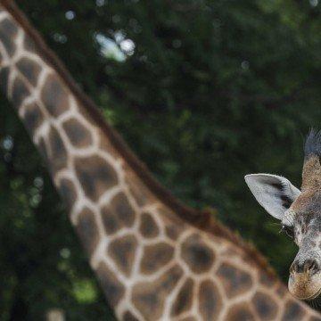 Jirafa bebe zoo porteño fauna