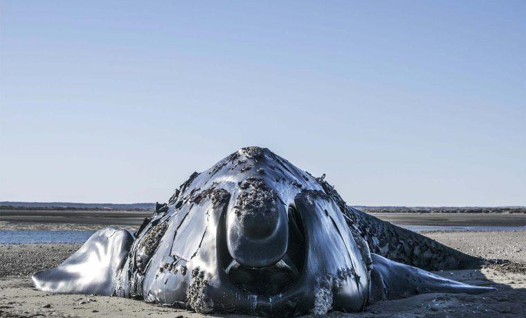 Rio Negro ballena franca austral Viedma