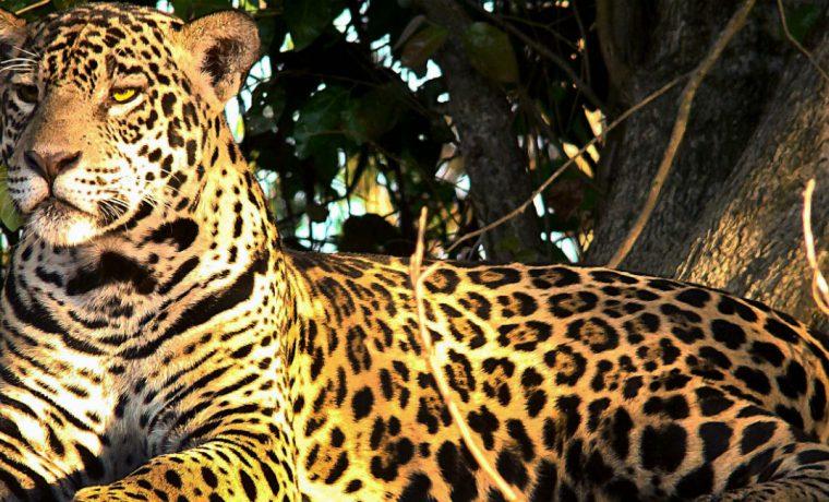 yaguareté, extinción, yungas