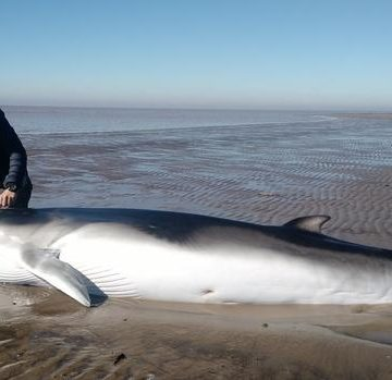ballena, Punta Indio