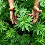 cannabis, salud, investigación, ciencia
