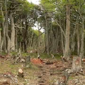 Tierra del Fuego, Parque Nacional, tala