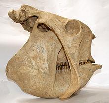 Cráneo de Gliptodonte