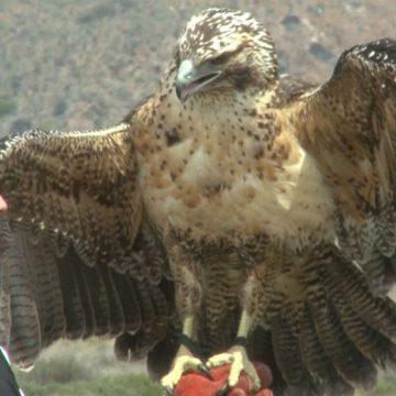 águila, animales, Nahuel Huapi