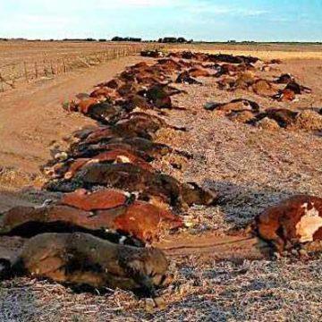 vacas, La Pampa, contaminación, herbicida