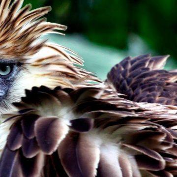 águila monera, aves, extinción, ecología
