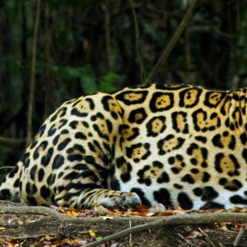 extinción, yaguareté, animal, ecología