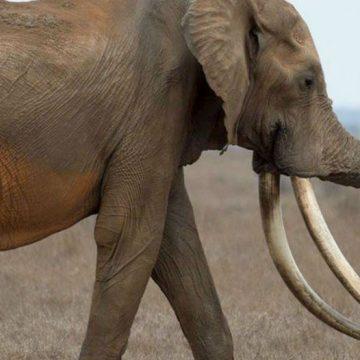Satao, elefante, Kenia, animales