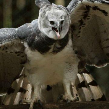 águilas arpías, Jujuy, extinción, ecología