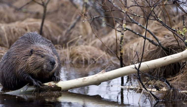 castores, Tierra del Fuego, ecología, investigación