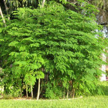 moringa, árbol, salud, ecología