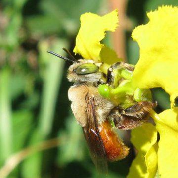 abejas, ciencia, descubrimiento, ecología