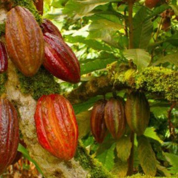 cacao, salud, cáncer, medicina, chocolate