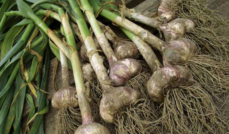 como-cultivar-ajos-en-macetas-1