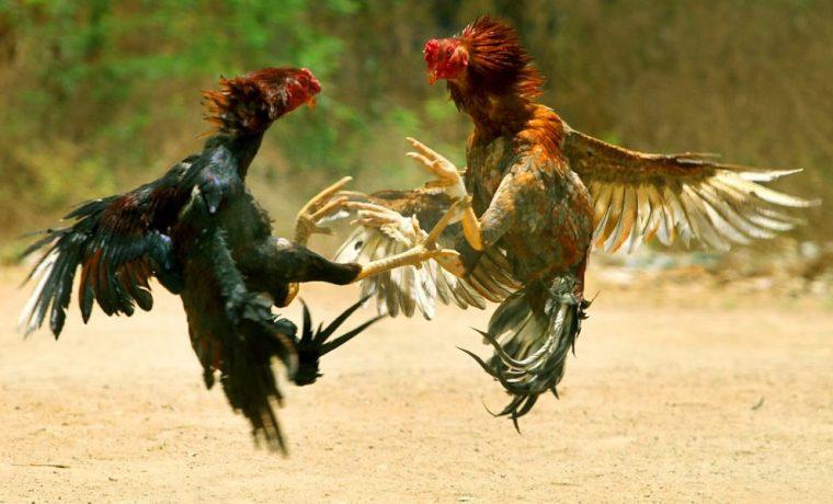 riña, gallos, Maipú