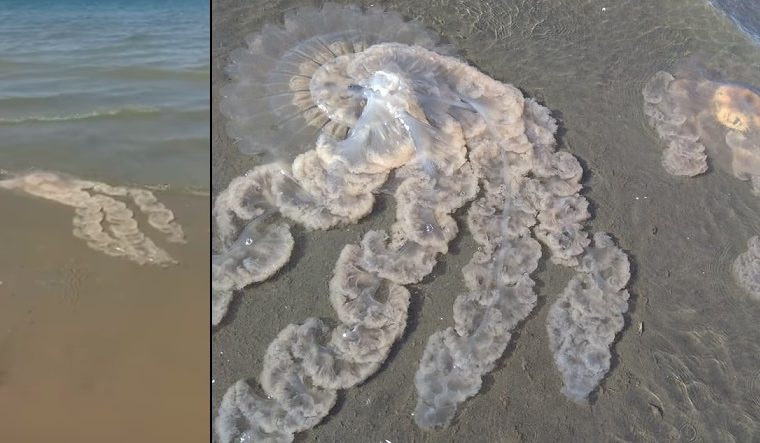 medusas, Puerto Madryn