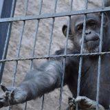 chimpancés, ecología, Ecoparque