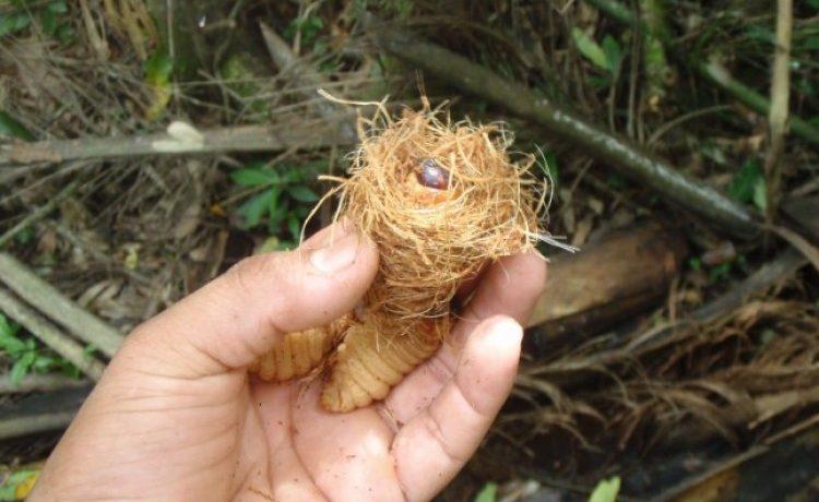 larvas, insectos, guaraníes, cultura