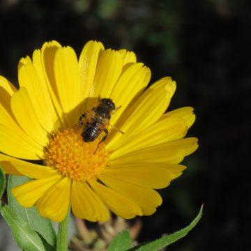 abejas, ecología, polinización