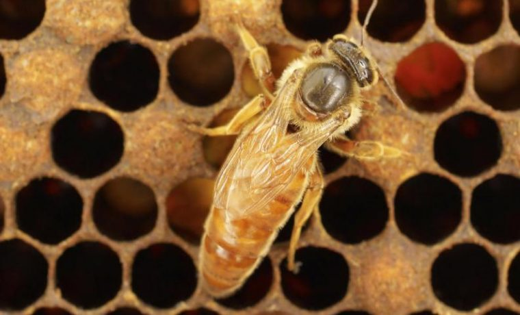 abejas reina, miel, ecología