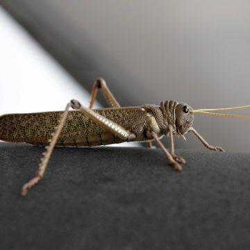 tucuras, Córdoba, insecto