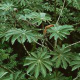 plantas ambay