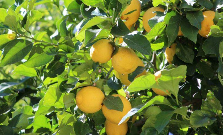 hojas, limón, limonero, salud