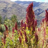 quinoa, planta, ciencia
