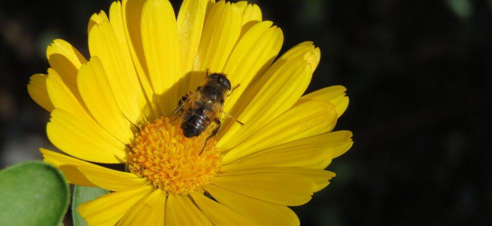 abeja, polinización, ecología, extinción, agrotóxicos